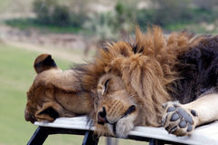 Lions on car Royalty Free Stock Photo