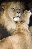 Lions caressant Images libres de droits