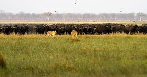 Lions chassant Buffalo Photographie stock