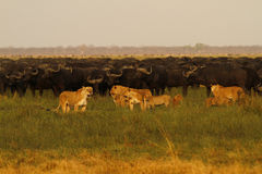 Lions chassant Buffalo Photos stock