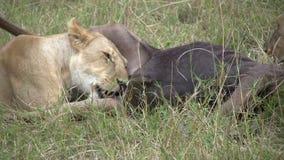 Lions chassant dans les plaines banque de vidéos