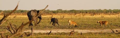 Lions chassant l'éléphant de bébé Photographie stock libre de droits