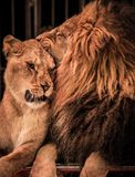 Lions in circus. Gorgeous lion and lioness on circus arena Royalty Free Stock Images