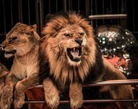 Lions in circus. Gorgeous roaring lion and lioness on circus arena Royalty Free Stock Photo