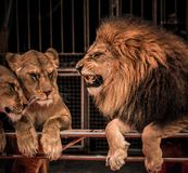 Lions in circus. Gorgeous roaring lion and two lioness on circus arena Stock Photography