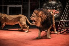 Lions in circus. Gorgeous roaring lion walking on circus arena Stock Photography