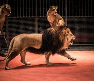 Lions in circus. Gorgeous roaring lion walking on circus arena and lioness sitting Stock Image