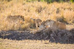 Lions cleaning her cubs stock photo