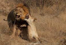 Lions copulating Photo libre de droits