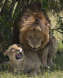 Lions copulating Royalty Free Stock Photos