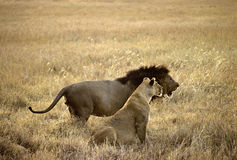 Lions couple stock images