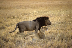 Lions couple stock photography