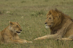 Lions couple in Kenya Stock Photography
