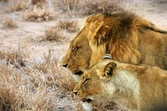 lions couple Royalty Free Stock Photography