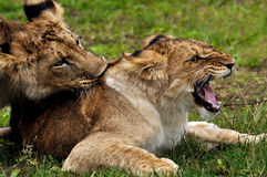 Lions in courtship game. Male and female lion in courtship game on the ground stock photography