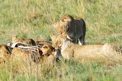 Lions, cub and killed prey Royalty Free Stock Photos