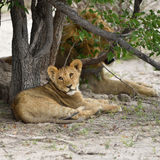 Lions cub, Namibia Stock Photography