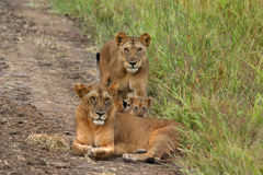 Lions and Cubs Royalty Free Stock Photo