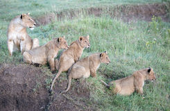 lions with cubs Stock Images