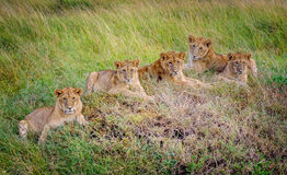 Lions cubs resting in the grass, Masai Mara,Kenya, Africa Royalty Free Stock Photo