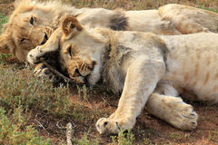 Lions cuttling Photos stock