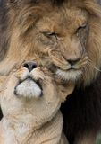Lions cuddling Stock Photo