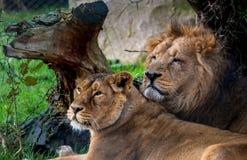 Lions dans l'amour Photographie stock libre de droits