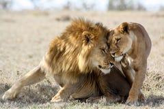 Lions dans l'amour Photos stock