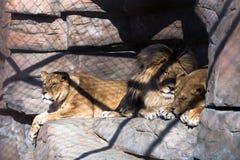 Lions dans la cage Photographie stock