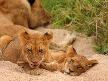 Lions dans la réserve de jeu de sable de Sabi Image libre de droits