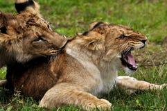 Lions dans le jeu de cour Photographie stock