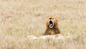 Lions dans le masai Mara Photo libre de droits
