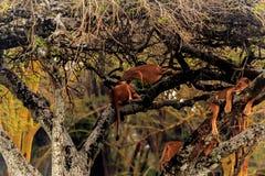 Lions dans le masai Mara Image stock