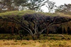 Lions dans le masai Mara Photos libres de droits