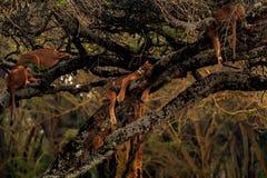 Lions dans le masai Mara Images libres de droits