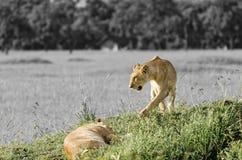 Lions dans le masai Mara, Kenya Photos stock