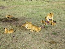 Lions dans le masai Mara National Park Photo libre de droits