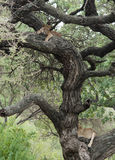 Lions dans un arbre Photos stock