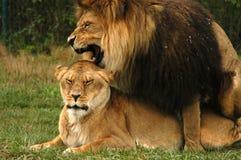 Lions de accouplement 1 Photographie stock