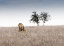 Lions de accouplement. Photos stock
