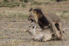 Lions de accouplement Images libres de droits