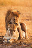 Lions de accouplement dans le masai Mara Photographie stock