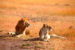 Lions de accouplement dans le masai Mara Image stock