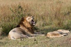 Lions de accouplement, foreplay Image libre de droits