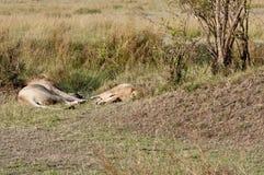 Lions de accouplement. La conséquence, épuisée Image libre de droits