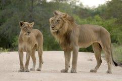 Lions de accouplement (Panthera Lion) Photo libre de droits