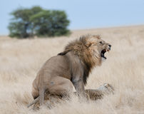 Lions de accouplement, stationnement national d'Etosha, Namibie, 2011 Photographie stock