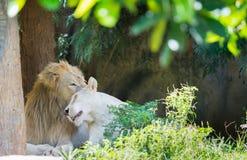 Lions de couples dans l'amour Image stock