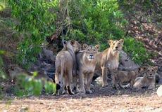 Lions de Gir Photos libres de droits