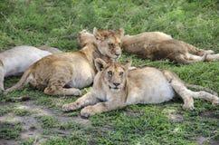 Lions de Jung Photo stock